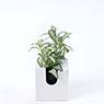 掛牆植物‧ABS盤‧小 冰雪網紋草