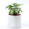 Ceramic Pot M Syngonium Podophyllum