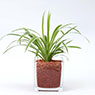 Glass Pot L Chlorophytum Comosum