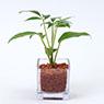 Glass Pot S Schefflera Octophylla (Lour.) Harms